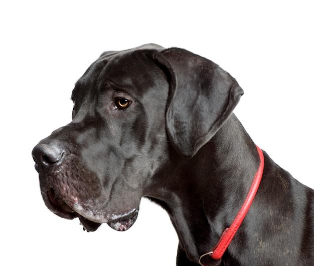 Deutsche dogge, studioaufnahme