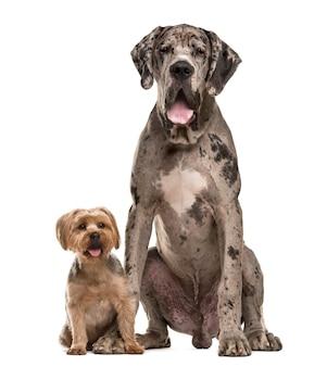 Deutsche dogge und yorkshire sitzen vor einer weißen wand