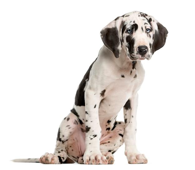 Deutsche dogge welpe sitzt vor einer weißen wand