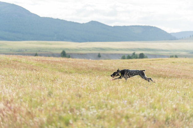 Deutscher drathaar läuft entlang der blühenden steppe im altai-gebirge
