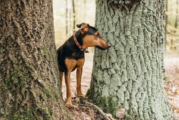 Deutscher jagdterrier guckt zwischen zwei bäumen im wald
