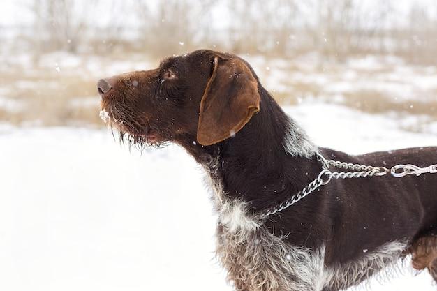 Deutscher jagdwachhund drahthaar, schönes hundeportrait im winter