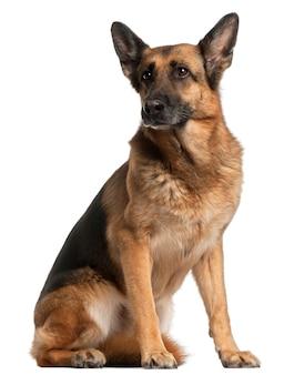 Deutscher schäferhund, 10 jahre alt, sitzend