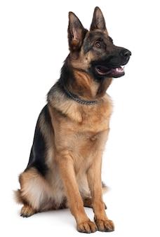 Deutscher schäferhund, 10 monate alt