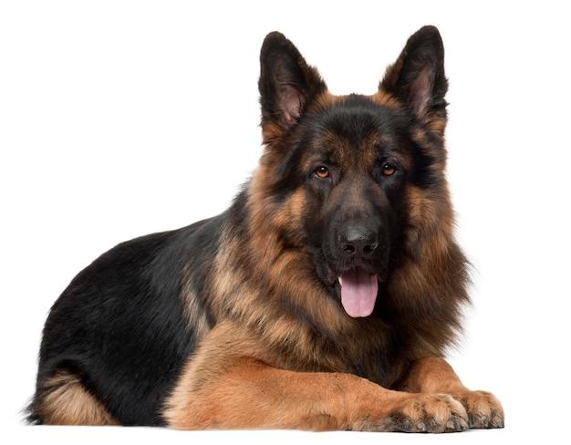 Deutscher schäferhund, 2 jahre alt, liegend