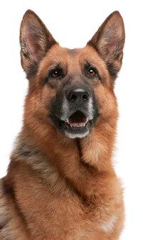Deutscher schäferhund, 5 jahre alt