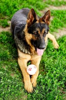 Deutscher schäferhund, der auf dem gras im park liegt. porträt eines reinrassigen hundes. in die kamera schauen. deutscher schäferhund auf dem rasen, hund im park, hundeporträt