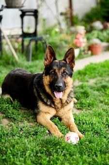 Deutscher schäferhund, der auf dem gras im park liegt