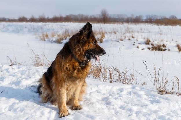 Deutscher schäferhund, der im schnee im feld sitzt