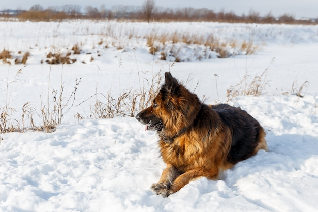 Deutscher schäferhund, der im schnee liegt