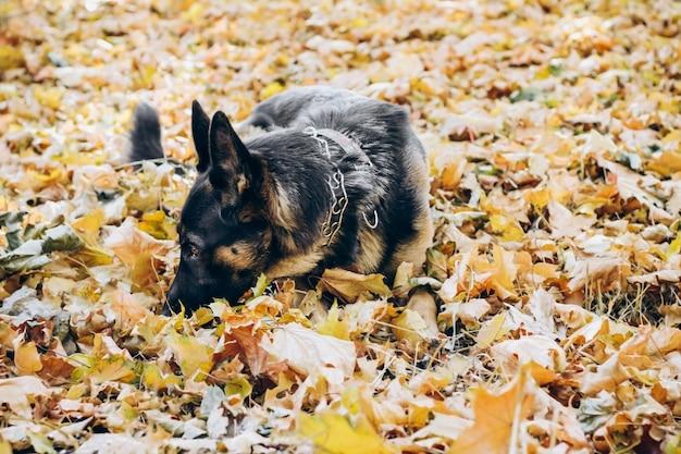 Deutscher schäferhund, der in den gelben blättern des herbstes liegt.