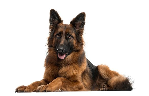 Deutscher schäferhund, der sich hinlegt und die zunge herausstreckt