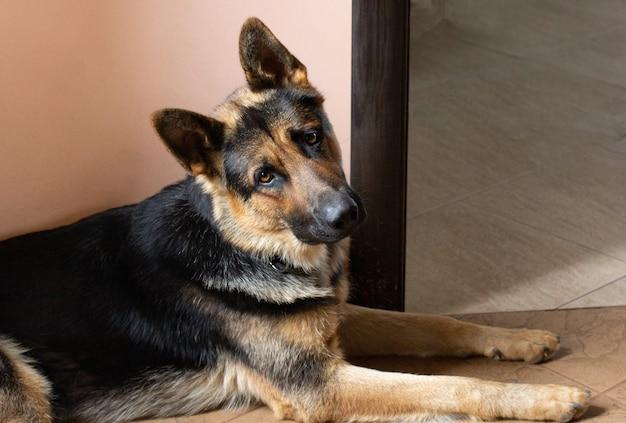 Deutscher schäferhund, der zu hause auf dem teppich liegt