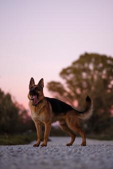 Deutscher schäferhund frontal