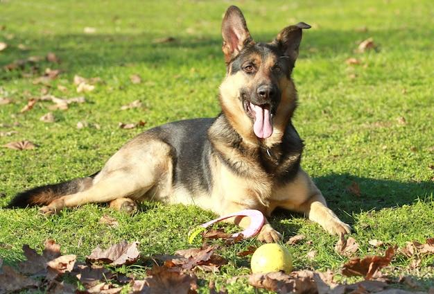 Deutscher schäferhund im park