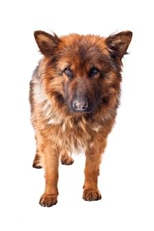 Deutscher schäferhund langes fell