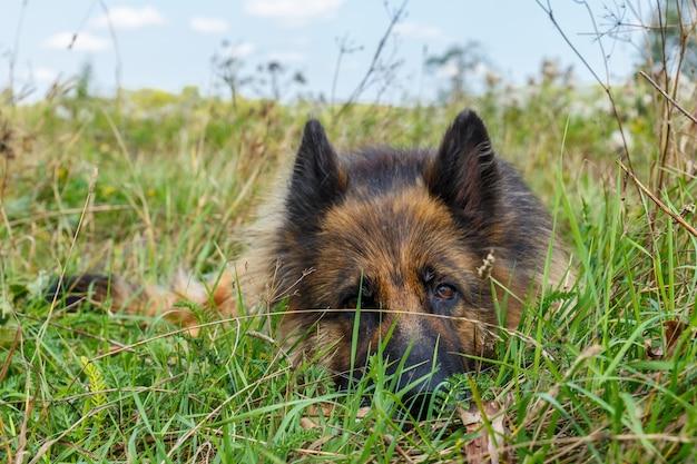 Deutscher schäferhund liegt im gras ein erwachsener hund versteckt sich im gras