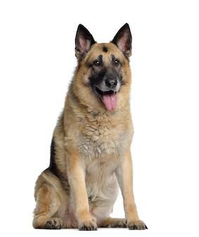 Deutscher schäferhund, sitzend und keuchend, isoliert