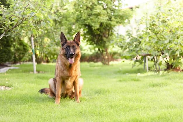 Deutscher schäferhund sitzt auf dem gras im garten.