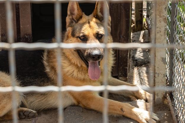 Deutscher schäferhund sitzt in einer voliere mit heraushängender zunge