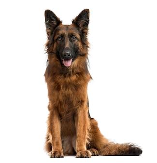 Deutscher schäferhund sitzt, schaut in die kamera und streckt die zunge heraus