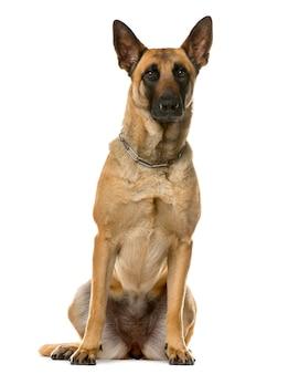 Deutscher schäferhund vor einer weißen wand