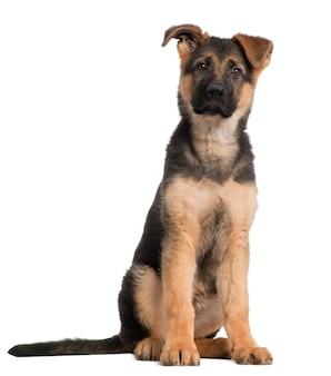 Deutscher schäferhund welpe, 3 monate alt, sitzend