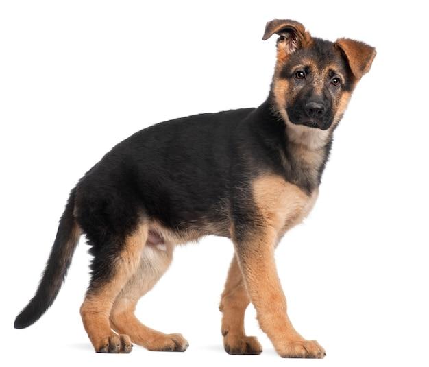 Deutscher schäferhund welpe, 3 monate alt, stehend
