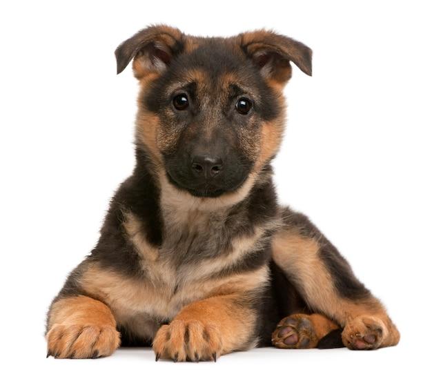Deutscher schäferhund welpe (3 monate alt)