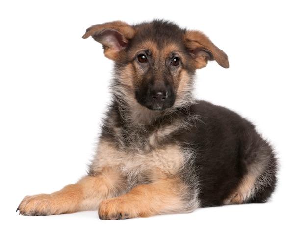 Deutscher schäferhund welpe, 4 monate alt, liegend