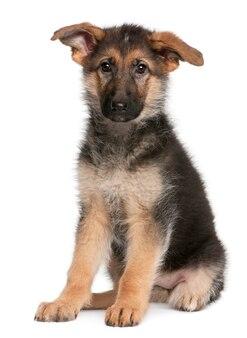 Deutscher schäferhund welpe, 4 monate alt, sitzend