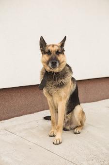 Deutsches schäferhundporträt auf weißem hintergrund