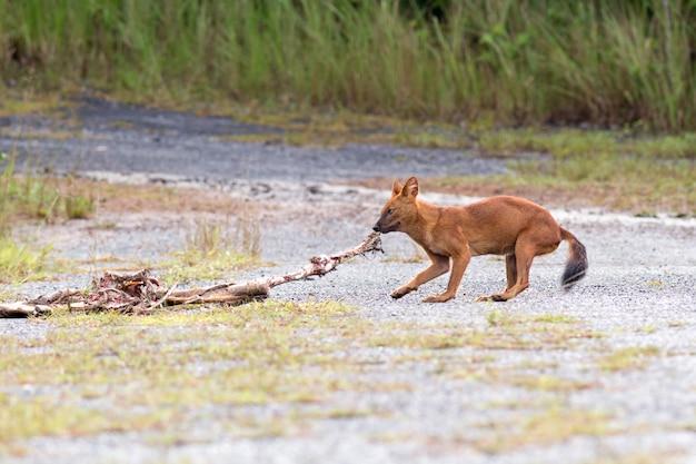 Dhole oder asiatische wilde hunde, die eine rotwildkarkasse an nationalpark khao yai, thailand essen
