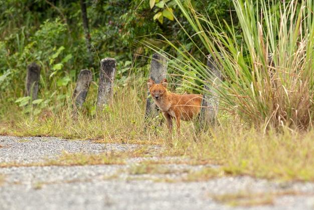 Dhole oder asiatische wilde hunde, die gehen, um einen hirschkadaver zu essen