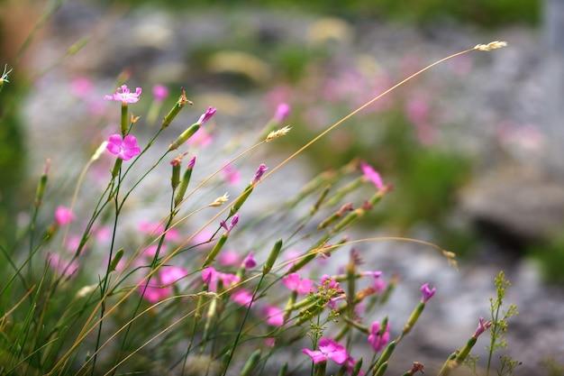 Dianthus blumen