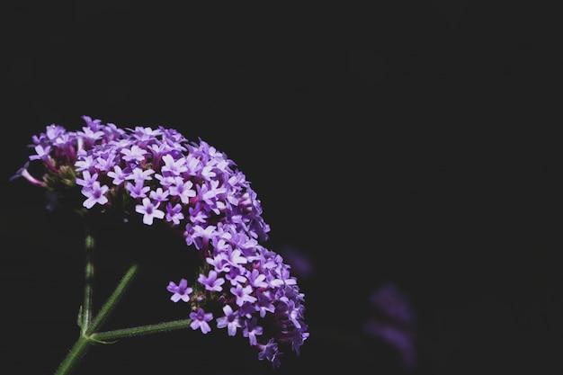 Dianthusblume makro