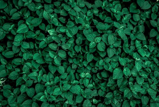 Dichte dunkelgrüne blätter im garten. smaragdgrüne blattstruktur. abstrakter hintergrund der natur. tropenwald. oben ansicht von dunkelgrünen blättern mit natürlichem muster. tropische pflanze.