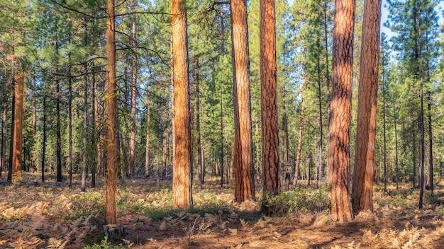 Dichter fichtenwald an einem sonnigen tag