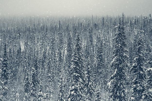 Dichter fichtenwinter arktischer wald. dämmerung im bergwinterwald. karelia.