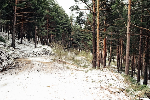 Dichter wald mit hohen bäumen im winter