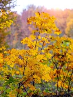 Dichtes dickicht junger ahornbäume im herbstwald bei sonnigem wetter
