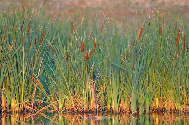 Dichtes dickicht von rohrkolben am ufer eines kleinen sees. landschaftsaufnahme zur goldenen morgenstunde mit weichem licht und warmen farben.