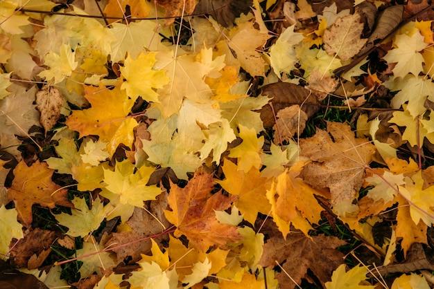 Dicker teppich aus gefallenen ahornblättern. leuchtend gelbe ahornblätter auf dem boden, nahaufnahme. hintergrundkonzept.