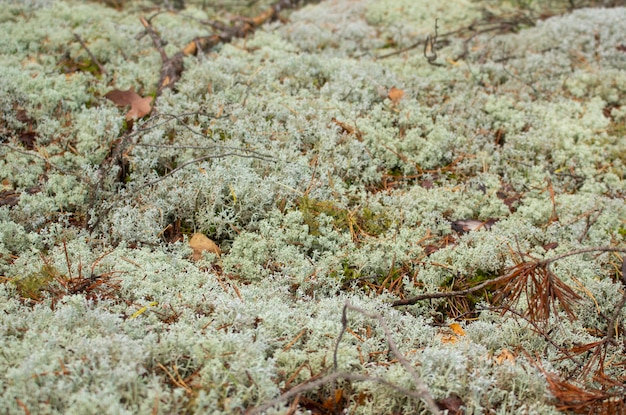 Dickicht in einem dichten wald. moosiger waldhintergrund. waldmoos. wilde natur.