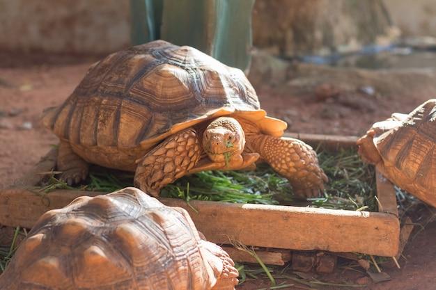 Die afrikanische spornschildkröte (geochelone sulcata) ist eine der größten schildkrötenarten der welt.