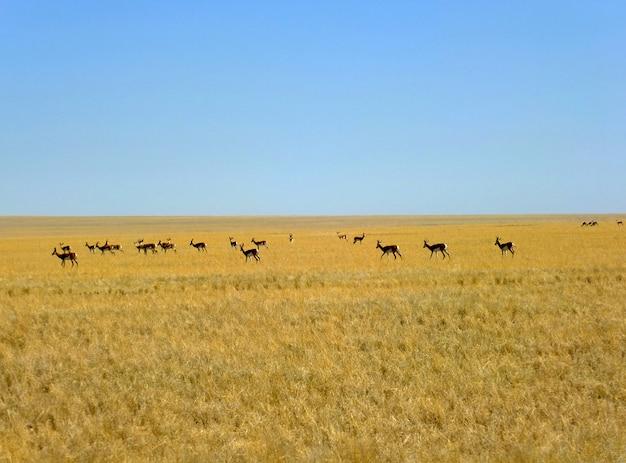 Die antilope auf der safari, namibia
