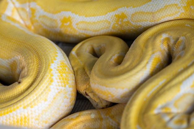 Die arten von pythons, die entwickelt wurden, die arten sind tiere, die für die wirtschaft aufgezogen werden. exotische haustiere aus asien