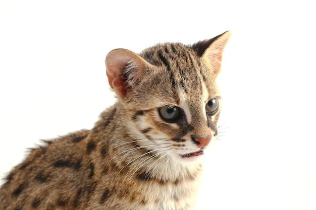 Die asiatische leopardenkatze lokalisiert auf weiß
