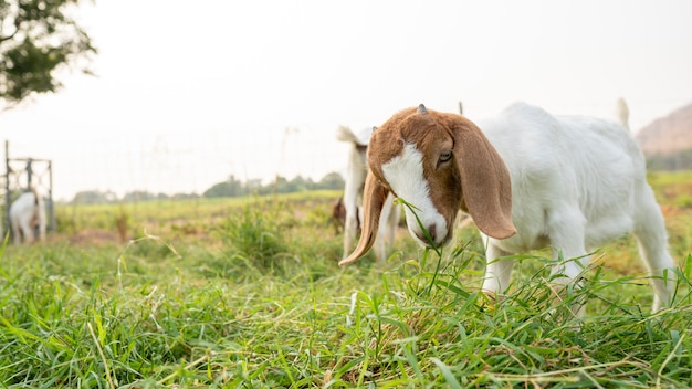 Die babyziegen auf der farm fressen gras, um zu milchziegen zu wachsen.