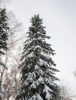 Die bäume fichten im winter. die äste und grünen nadeln sind nach einem schneefall mit schnee bedeckt. herbstsaison.
